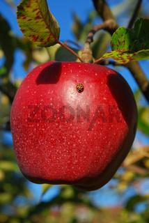 Apfel mit Marienkaefer