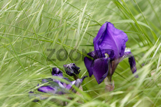 Colourful blue purple iris growing in grass