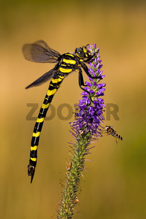 Golden ringed dragonfly sitting on a violet wildflower