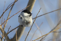willow tit who sits among small branches on a winter day