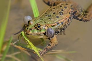 Kleiner Wasserfrosch 'Pelophylax lessonae; (Rana lessonae)
