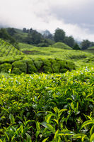 The beautiful rolling hills of the Cameron Highlands covered in tea plantation farms in South Malaysia.