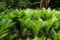 Large ferns in shady woodlands