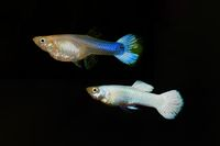 Guppy, Poecilia reticulata White Snow isolated on black background