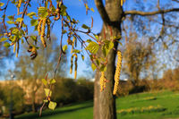 Birch Tree Blossoms in the Spring