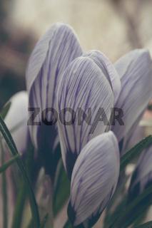 beautiful purple crocuses in springtime
