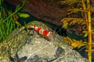Red crystal shrimp (Caridina cantonensis) in freshwatera aquarium