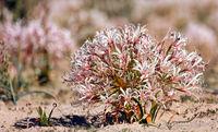 Vleililie, Kgalagadi-Transfrontier-Nationalpark, Südafrika, (nerina laticoma) | Vlei Lily, Kgalagadi Transfrontier National Park, South Africa, (nerina laticoma)