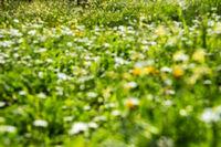 Blurry Daisy Flower Meadow, Green Grass, Spring Season