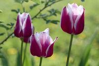 Drei Tulpen vor grün