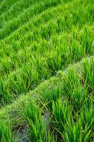 Rice growing on Longji Rice Terraces