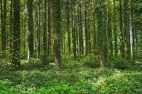 Fichtenwald mit Efeubewachsenen Bäumen