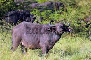 Afrikanische Büffel im Ishasha-Sektor des Queen Elizabeth Nationalparks, Uganda (Syncerus caffer) | African buffalos at Queen Elizabeth National Park, Ishasha, Uganda (Syncerus caffer)