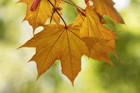 Maple tree with sunlit leaf in autumn evening
