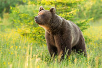 Proud brown bear sniffing on meadow in summer sun.