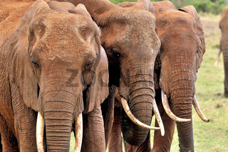 drei nebeneinander laufende Elefanten