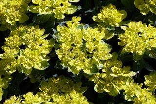 Vielfarbige Wolfsmilch (Euphorbia epithymoides, Syn. Euphorbia polychroma), auch Bunt-Wolfsmilch -gelbe Blütenstände