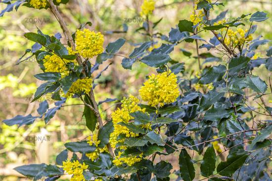 Gewöhnliche Mahonie, mahonia or oregon grape, Mahonia aquifolium