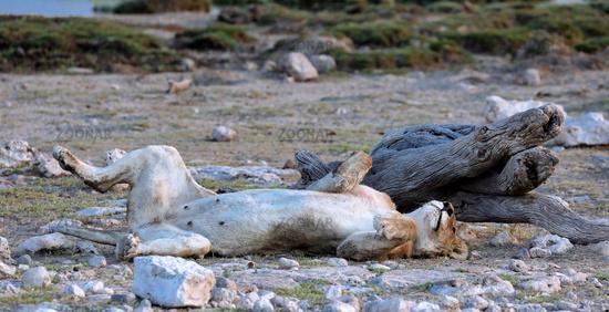 Müde Löwin, Etosha-Nationalpark, Namibia, (Panthera leo) | tired lioness, Etosha National Park, Namibia, (Panthera leo)