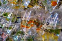 gold fish   in plastic bag on pet market