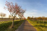 Mandelblüte an der Deutschen Weinstraße bei Bad Dürkheim, Rheinland-Pfalz, Deutschland