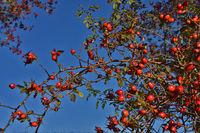 Heckenrose, Hagebutte, Rosa corymbifera, corymb rose,