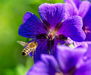 Bee flying to a purple geranium flower blossom