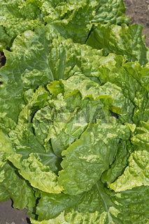 Salatpflanze - Lactuca sativa