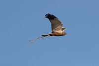 western marsh harrier (Circus aeruginosus) Germany