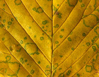 full frame close up of a yellow autumn leaf showing veins and cells with green mottled spots