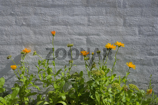 Yellow flowers in front of white brick wall
