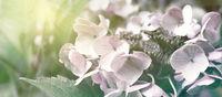 Hortensien Sonne Blumen Garten Panorama