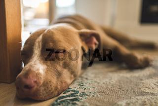 Beautiful gg lying on wooden floor indoors, brown amstaff terrier resting.