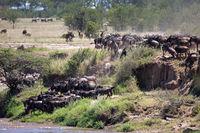 Gnus am Mara Fluss