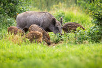 Wild boar family grazing on grassland in summer sunshine