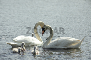 Male and female of swans and their young chicks.