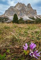 Autumnal crocus flowers  near Falzarego Pass, Italy Dolomites