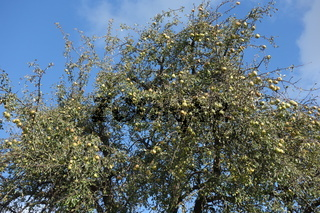 Pyrus communis, Birnbaum, Pear tree