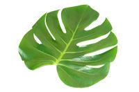 Green leaf of houseplant monstera
