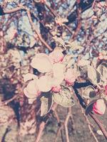 Blooming apple tree flowers in spring as floral background