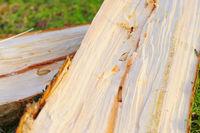 Borkenkäfer Larven und Galerien in Fichtenholz - Bark Beetle pupae and galleries in spruce  wood