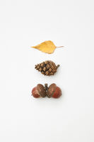 Acorns, cone and leaf