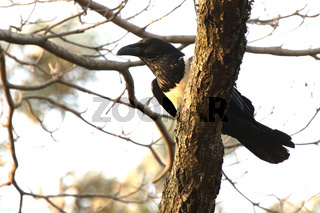 Pied crow sitting on a branch in the crown of a tree