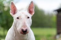 white bull terrier dog portrait