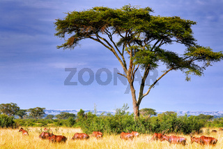 Topis im Queen Elizabeth Nationalpark, Ishasha-Sektor, Uganda (Damaliscus jimela) | Topis, Ishasha sector at Queen Elizabeth Nationalpark Uganda (Damaliscus jimela)
