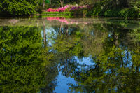 Spring landscape with pond and Rhododendron flowers.