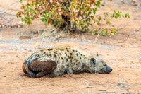 The spotted hyena (Crocuta crocuta), South Africa.