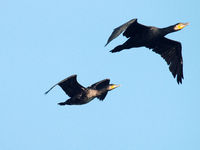 Single flying large cormorant
