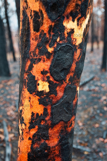 Tree with charred burnt patterns on its trunk after bushfires