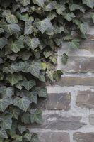 Efeu, Hedera helix, ivy